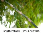 green bamboo plants in the... | Shutterstock . vector #1931735906