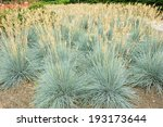 Decorative Grass Blue Fescue  ...