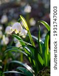 White Spring Snowflake Flowers  ...