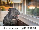 Staffordshire Bull Terrier Dog  ...
