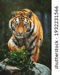 Siberian Tiger  Panthera Tigris ...
