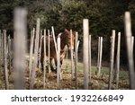 Mule Working In The Vineyards