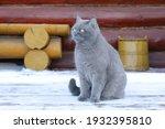 A Grey Cat Sits On Snowy Porch...
