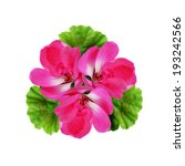 geranium flowers composition... | Shutterstock . vector #193242566