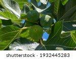 Common Fig  Ficus Carica. Fig...