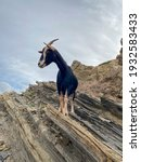 Small photo of Portrait of autochthonous goat standing on a cliff above Cala en Calderer, Menorca, Islas Baleares, Spain