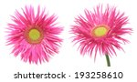 flower head of transvaal daisy | Shutterstock . vector #193258610