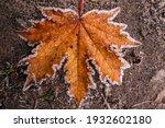 Orange Dry Maple Leaf Lies On...