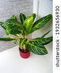 aglaonema kay lime is an...   Shutterstock . vector #1932656930