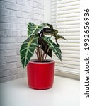 alocasia sanderiana  commonly...   Shutterstock . vector #1932656936