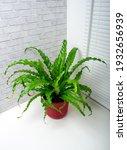 asplenium antikum osaka large...   Shutterstock . vector #1932656939