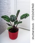 calathea roseopicta  the rose...   Shutterstock . vector #1932656960