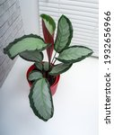 calathea picturata is a species ...   Shutterstock . vector #1932656966