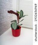 calathea picturata is a species ...   Shutterstock . vector #1932656969