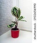 calathea roseopicta  the rose...   Shutterstock . vector #1932656990