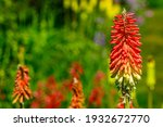 Red Yellow Hot Poker Flowers In ...