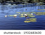 White Water Lilies On The Calm...
