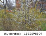 tree in spring  blossoming in a ... | Shutterstock . vector #1932698909