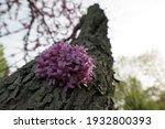 Close Up Of Redbud Tree Blossom ...