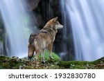 Timber Wolf Hunting On...