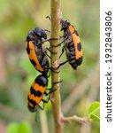 Orange Black Beetle Perches On...