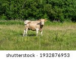 Small photo of Plucky looking pale cow standing in a lush green summer pasture, waving her tail and looking at the camera