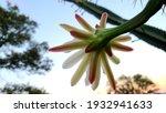 Flower Of The Epiphyllum...