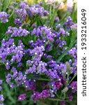 Purple Statice  Blooming...