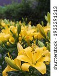 Yellow Lilies In The Shrub