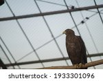 A Large Brown Eagle With A...