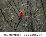 Bright Red Cardinal Sitting On...