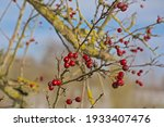 Deep Red Hawthorn Fruits On...