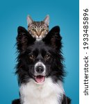 Border Collie Dog Portrait With ...