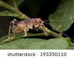 macro shot of a reddish cricket ... | Shutterstock . vector #193350110