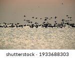 Silhouette Of Great Cormorants...