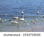Swans And Seagulls Swim Off The ...
