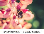 Bumble Bee Pollinating And...