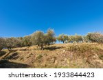 Terraced Field With Olive Grove ...