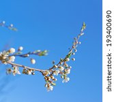 Branch of blossom bird-cherry tree against the blue sky as a background composition - stock photo