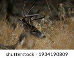 An Eight Point White Tailed...