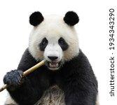 Closeup Of Giant Panda Bear...
