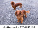 High angle view of cute red miniature long-haired dachshund standing on gravel looking up, with other dog in soft focus background, St. Simon, Quebec, Canada