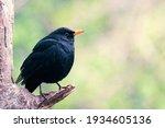 Blackbird Perched On A Tree...