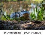 Alligator Enjoying The Sun At...