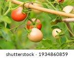 beautiful organic tomatoes... | Shutterstock . vector #1934860859
