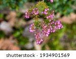 Erica X Darleyensis Flower...