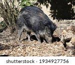 Visayan Warty Pig Sus Cebifrons ...