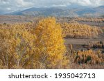 Birches Being Dyed Yellow By...