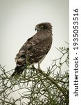 Black Chested Snake Eagle...