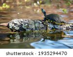 A Yellow Bellied Slider Turtle...